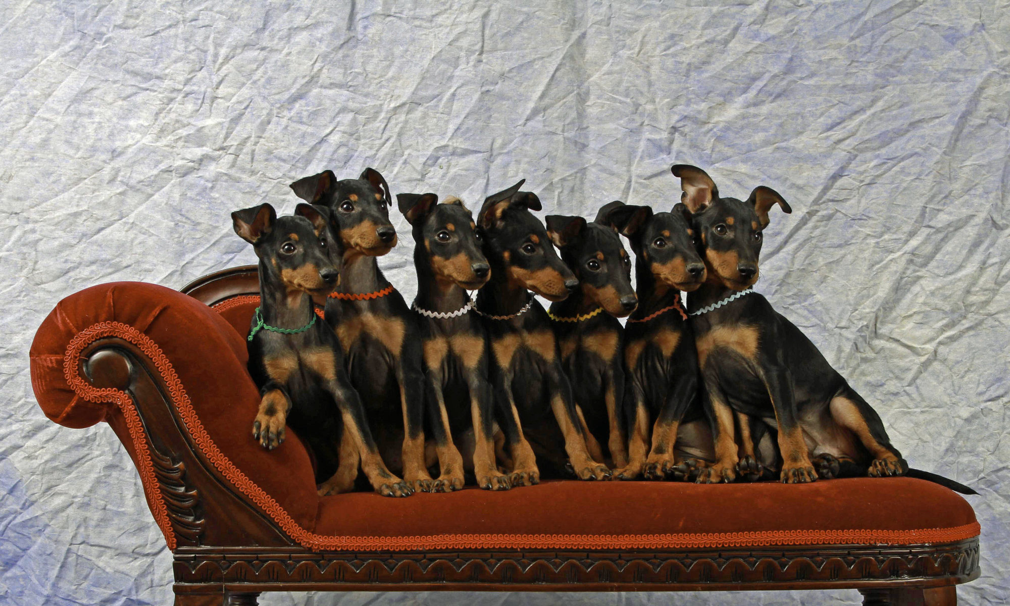 Toy Manchester Terriers and Lagotti Romagnoli